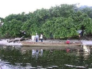 BIOFUEL - Kayu Besi Pantai (Pongamia pinnata Merr)
