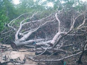 Pohon Bintangur ditebang