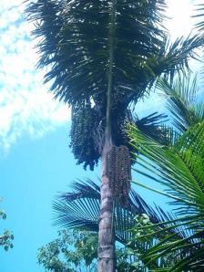 Pohon Aren (Arenga Pinnata)